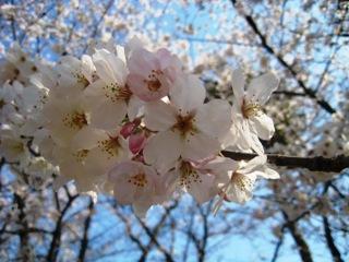 桜4月3日2.jpg