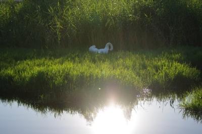 逆光の白鳥さん