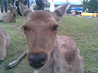 どうも鹿っす