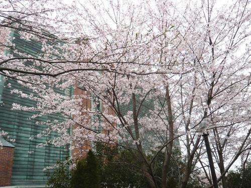 ひなた村の桜