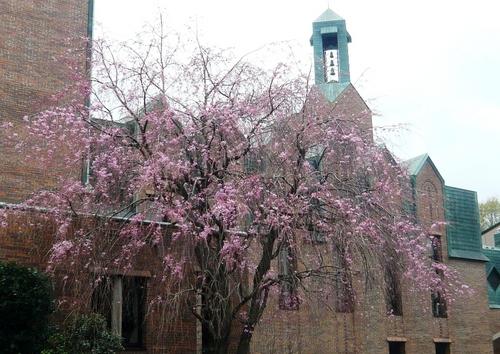 カリヨンホールの枝垂桜
