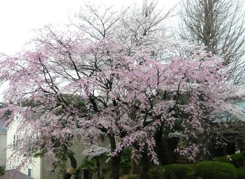 宏善寺の桜