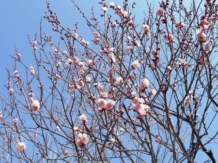 薬師池公園の梅