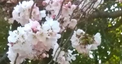 上野公園の桜.jpg