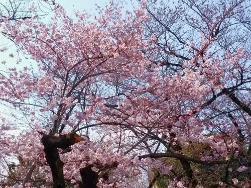 上野公園の桜2.jpg