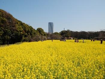 120329浜離宮菜花 (115)_S.JPG