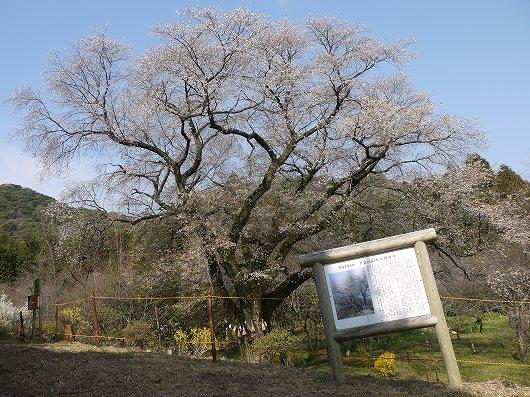 千女房の山桜.jpg