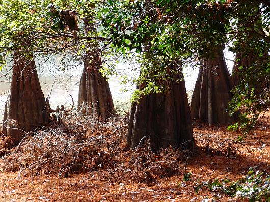 沼杉.jpg