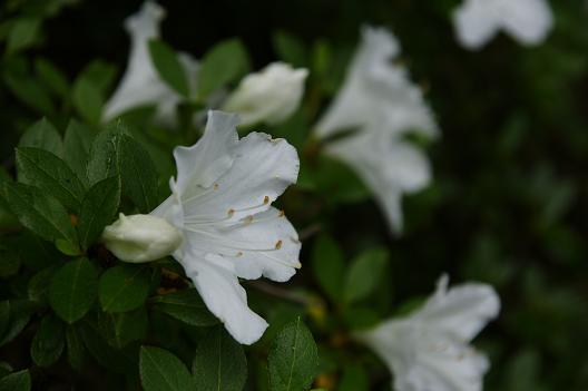 white_tsutsuji.JPG