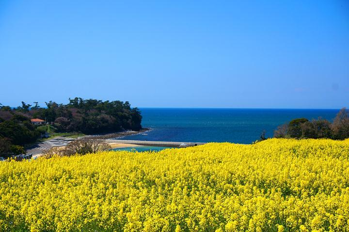 12 周防灘と菜の花.JPG