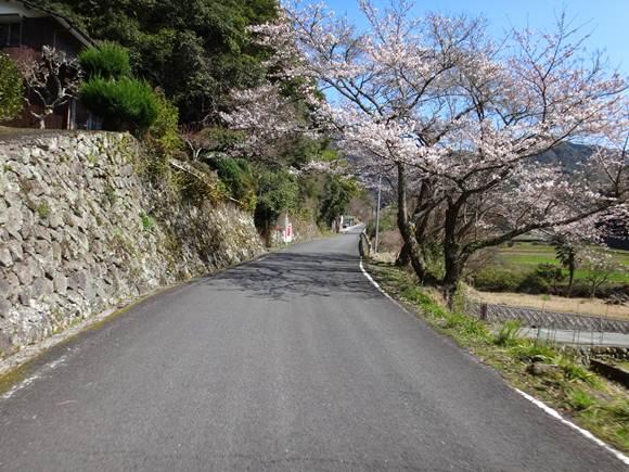 15 7分咲きの桜.JPG