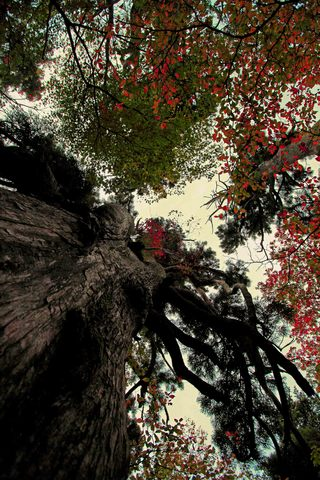 巨木杉の秋化粧.jpg