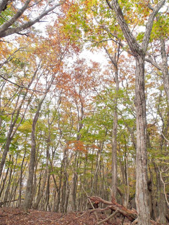 ミズナラの自然林