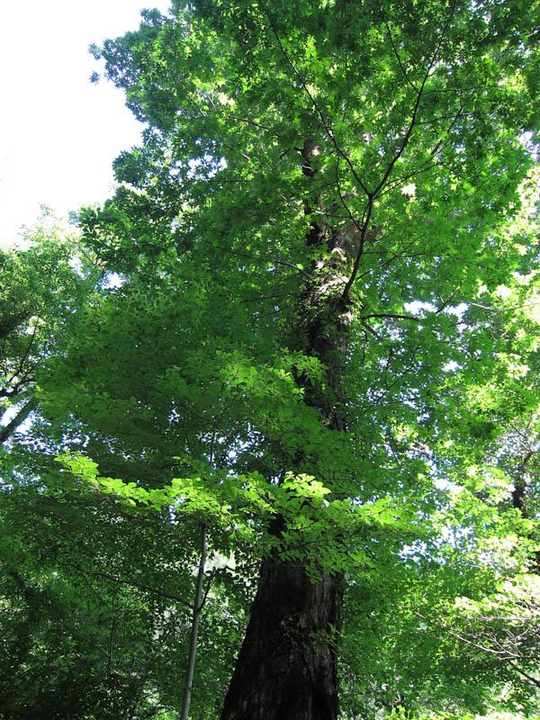 シオジの大木