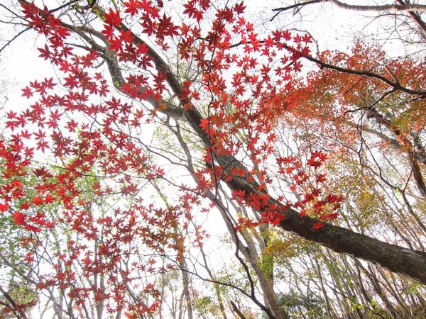 石楠花尾根の紅葉2