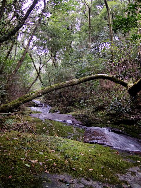 照葉樹の滝