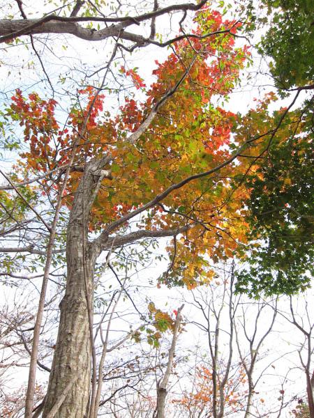石楠花尾根の紅葉3