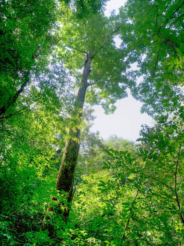 シオジ原生林