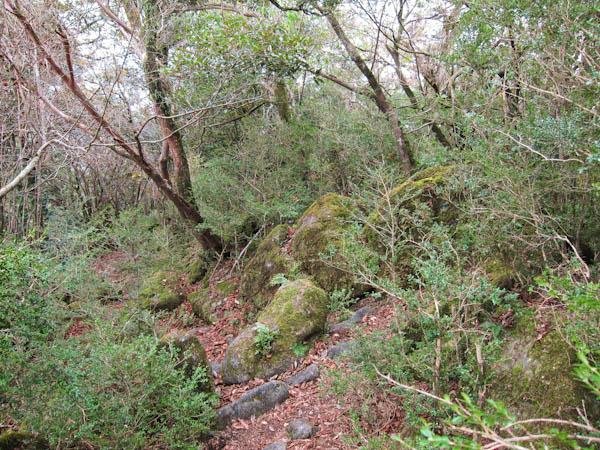 ツゲ原生林の登山道
