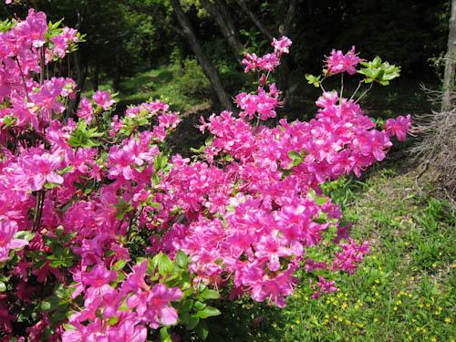 花コースのミヤマキリシマ