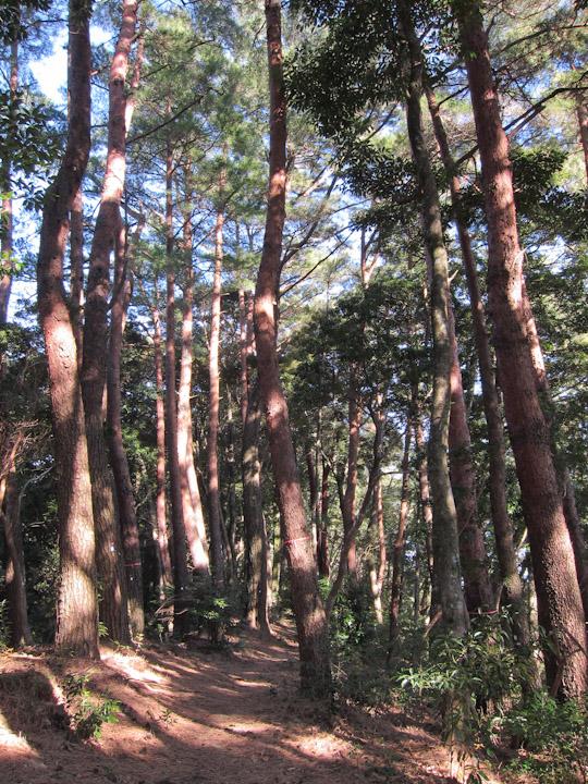 気持ちの良い松林