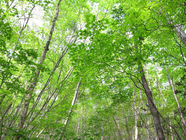 黒岳の新緑