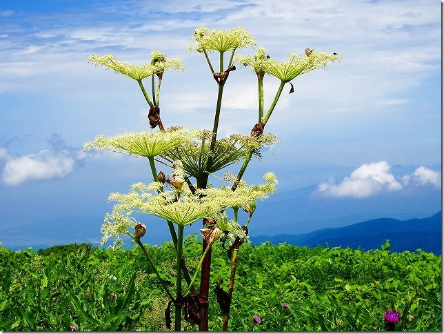 月山八合目  弥陀ヶ原(みだがはら)湿原 高山植物