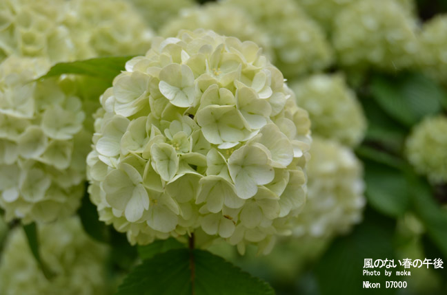 柔らかな花、オオデマリ