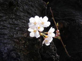 2008_0327桜0012.JPG