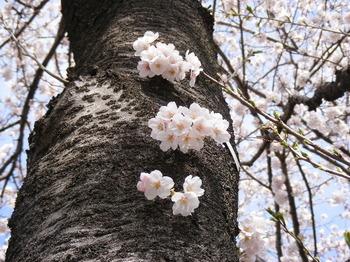 2008_0329桜0029.JPG