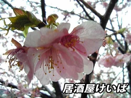 河津桜2.jpg
