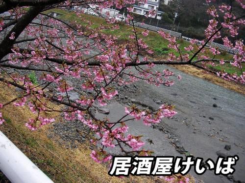 河津桜4.jpg