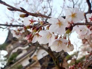 080327犬山城の桜.jpg
