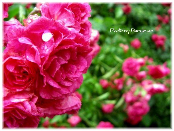 rose_IMGP2481.jpg