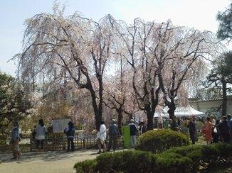 P1000647G大学桜祭り.JPG