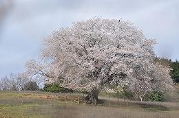 40 3月 才尾の一本桜.jpg
