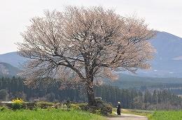 47 4月前原の一本桜.jpg