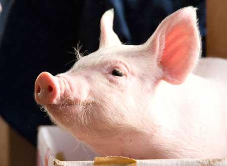 エサを待つ豚