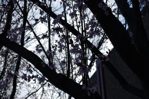 CherryBlossom_GilmanSt._BerlekelyCA_Feb13.2009.0838am.jpg