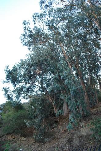 Eucalyptus_AlbanyHill,CA_January19,2009.jpg