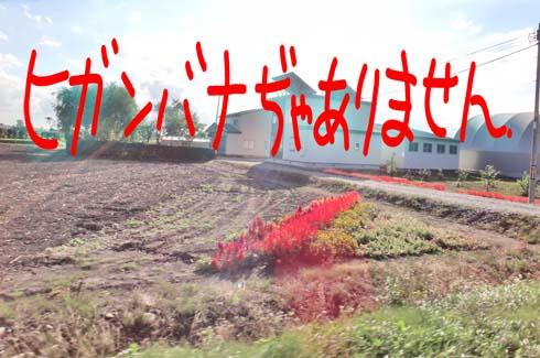 この時期で赤い花の群生と言えば!