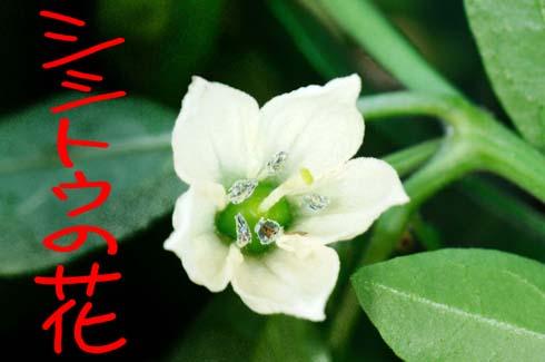 白い花弁です。