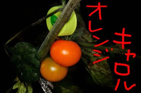 オレンジ色のミニトマト。