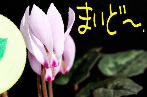 原種なんで、花のサイズはこんなもんです。