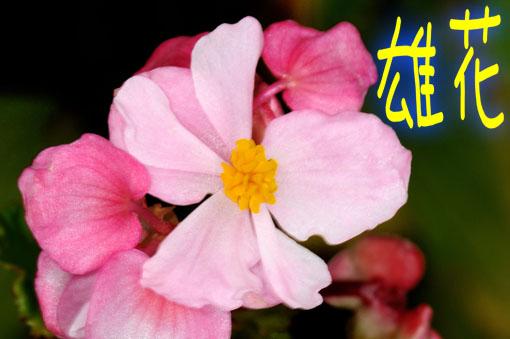 Begonia ' Akane '