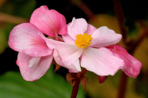 次々に咲きます。