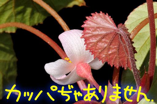 葉っぱの裏と茎は赤色です。