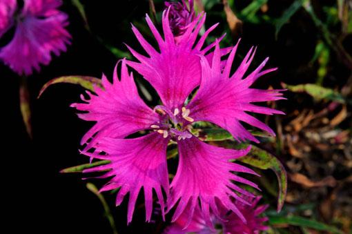 Dianthus superbus var. speciosus ' Goryu '