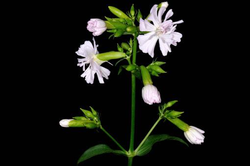 しっかりとした花茎です。