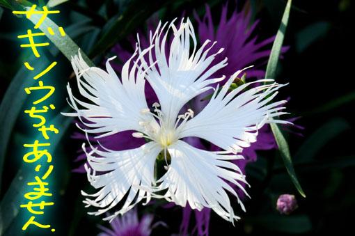 白花タイプです。